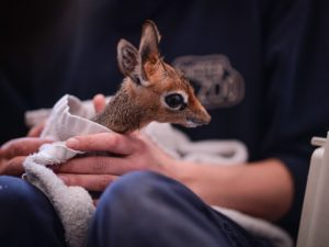 The little dik-dik making a big impression!