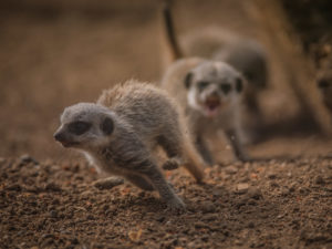 Four mischievous meerkat pups have been born at Chester Zoo